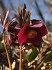 Purple Hellebore blooms in mid-March; Sellersville, PA
