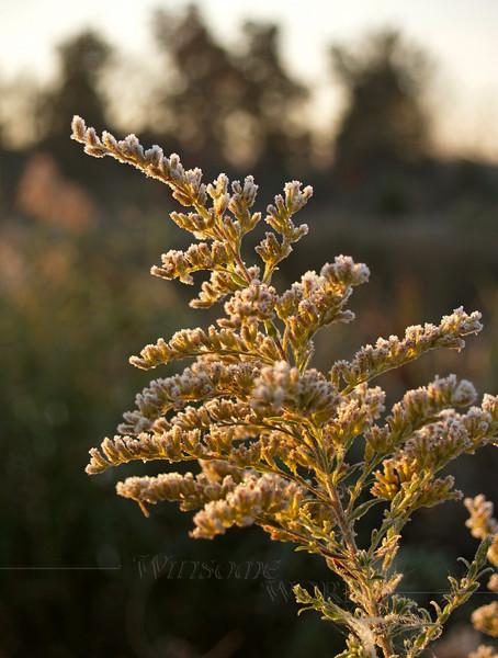 Autumn Frost on Goldenrod Flower (Solidago virgaurea) found in Eastern PA wetlands