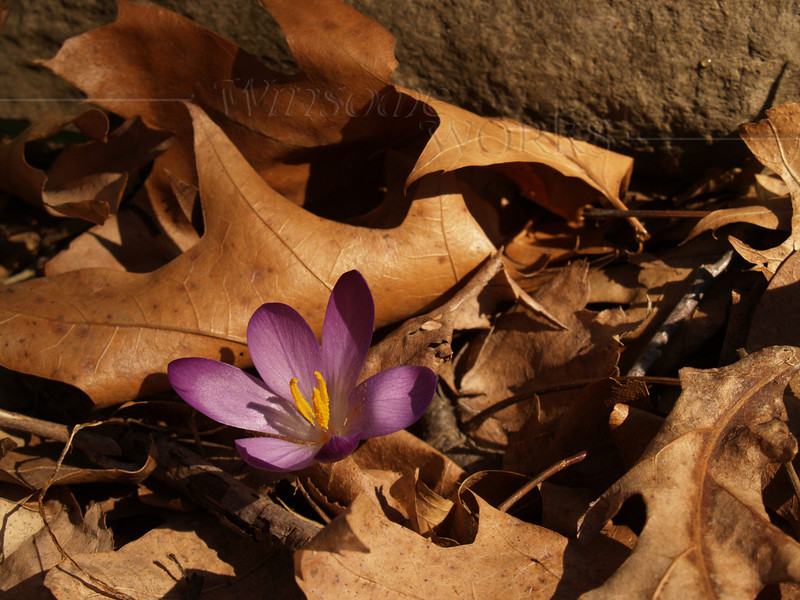 Purple Crocus in dried oak leaves, Easter Sunday; Sellersville, PA