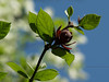 Spicebush (Calycanthus occidentalis) closeup