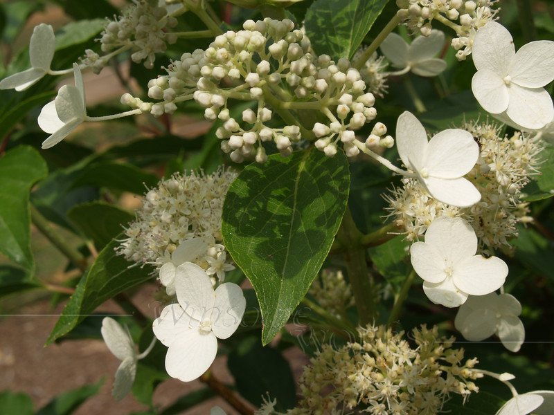 Lacecap Hydrangea in Fairview, NC