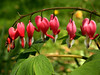 Pink bleeding hearts (Dicentra spectabilis)