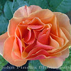 Peach Rose<br /> FL_0001-DSCF0007