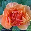 Peach Rose<br /> FL_0001-DSCF0007