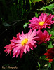 Water Color Asters