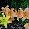Day Lilies<br /> FL_0007-DSCF0097