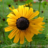 Black Eyed Susan (check out the spider!!)<br /> FL_0002-DSCF0217