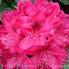 Rhododendron<br /> FL_0016-DSCF3502