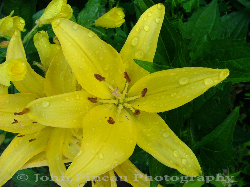 Yellow Day Lily<br /> FL_0004-DSCF0006