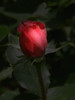 Red Rose of Summer
