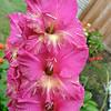 Gladiolus<br /> FL_0026-DSCF5067