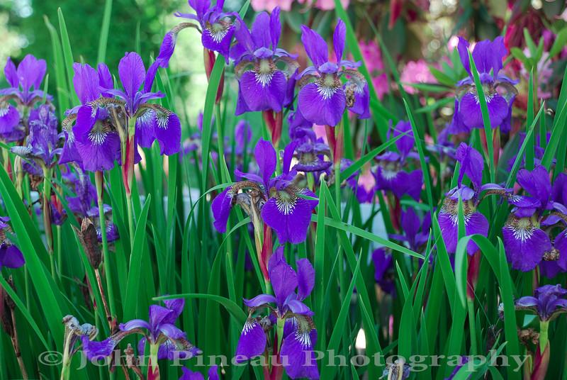 Irises<br /> FL_0041-DSC_4986