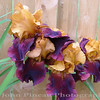 German Bearded Iris<br /> FL_0020-DSCF3632