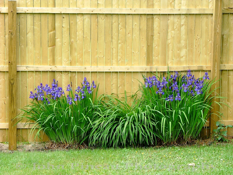 Irises<br /> FL_0019-DSCF3619
