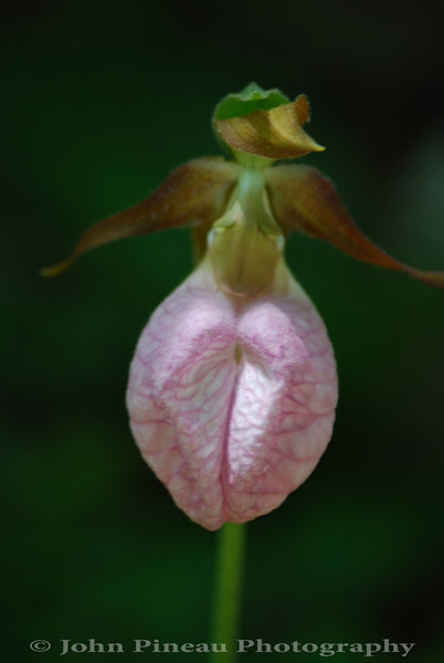 Lady's Slipper - Scarborough, Maine