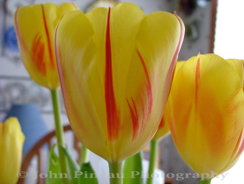 Tulips<br /> FL_0014-DSCF2150