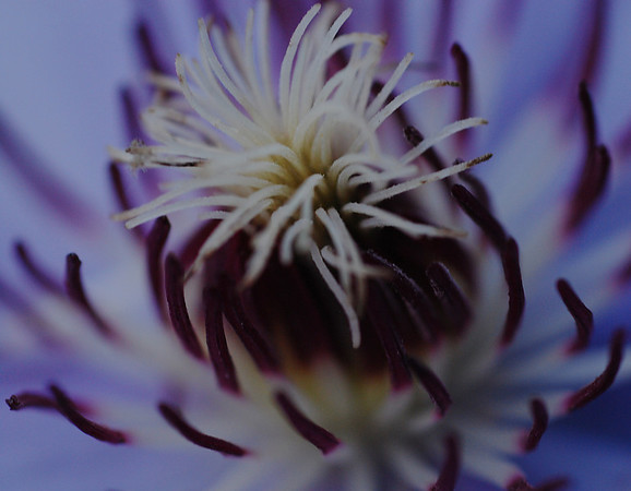THE CENTER OF THE CLEMATIS