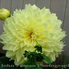 Dinner Plate Dahlia<br /> FL_0025-DSCF5051