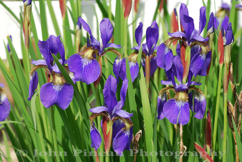 Backyard Iris - Gorham, Maine