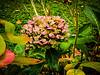 Last Hydrangea of Summer