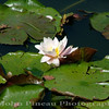 Lily in the Pond<br /> FL_0009-DSCF0221