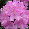Rhododendron<br /> FL_0016-DSCF3498
