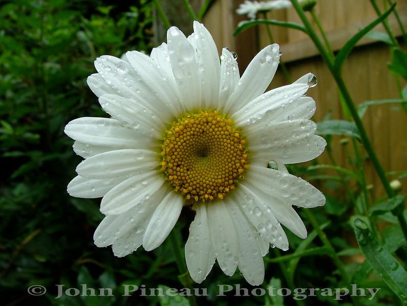 Daisy<br /> FL_0022-DSCF4095