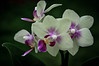 Minature Orchids