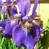 Iris<br /> FL_0018-DSCF3547
