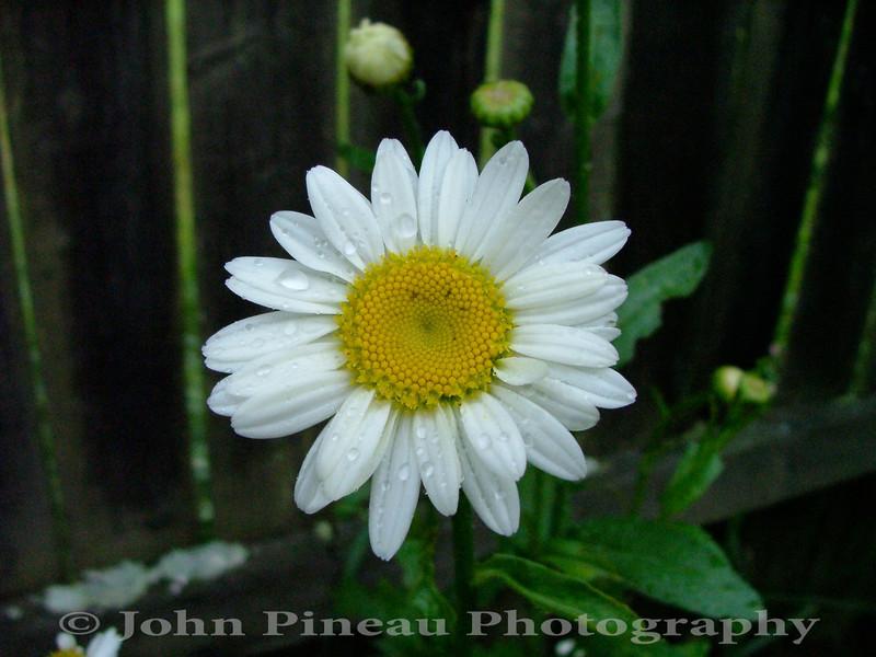 Daisy<br /> FL_0003-56_fl