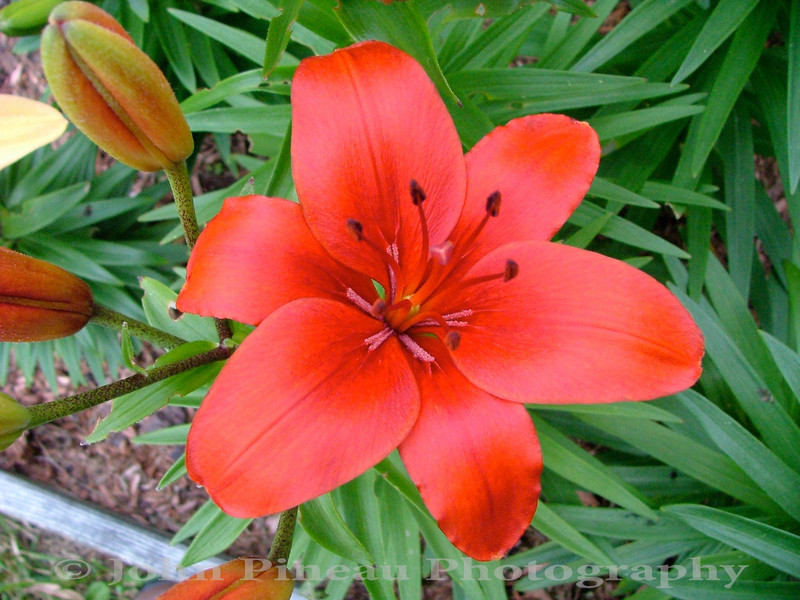Red Day Lily<br /> FL_0005-DSCF0052