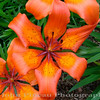 Tiger Day Lily<br /> FL_0006-DSCF0067
