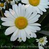 Daisies<br /> FL_0008-DSCF0210