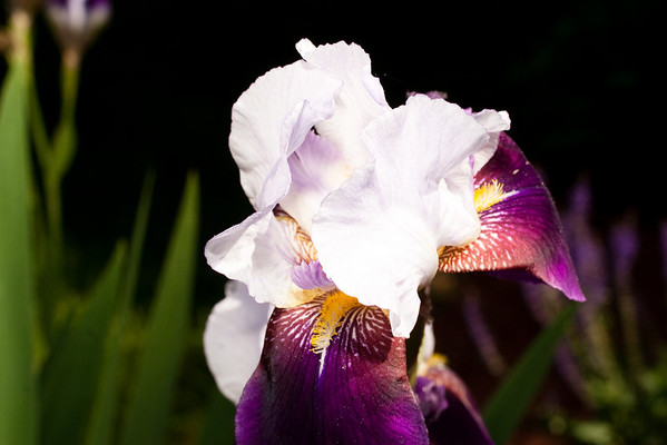 Iris macro-1