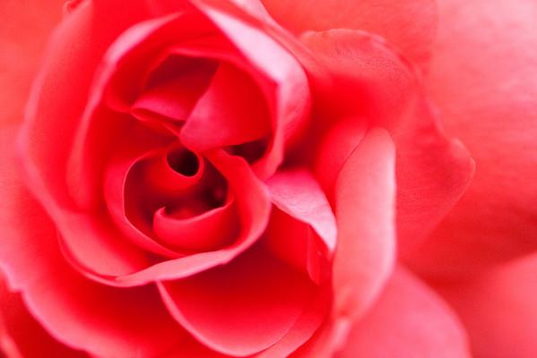 Pink Rose-2