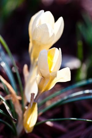 Hyacinth-7