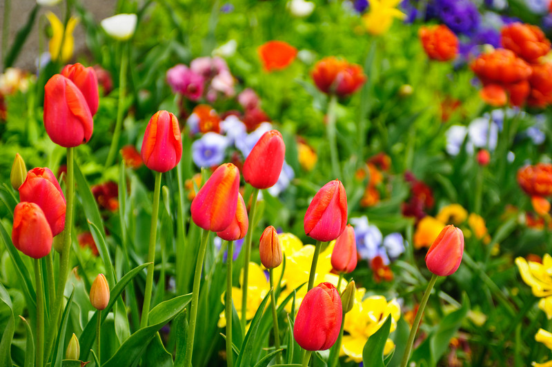 May 6, 2010.  Tulips in the gardens of the Mormon Temple in Salt Lake City, Utah.  Just amazing colors on these tulips in Salt Lake City Utah.  I had a one day business trip and managed to sneak off to take some pictures.  What a nice place!