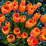 """Bouquet of Color"" Tulips at Filoli Gardens in Woodside California"