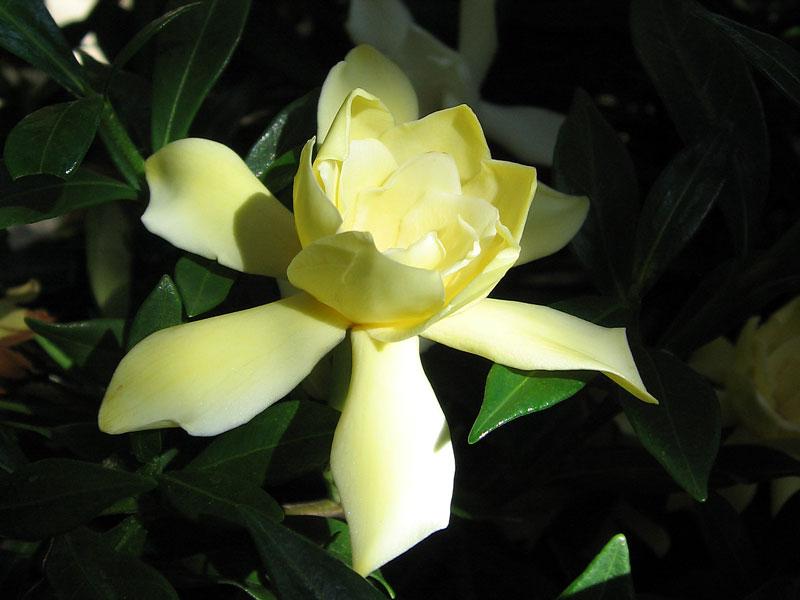 Yellow Gardenia