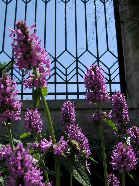 Lavender flower spikes, a bumble bee and blue sky through wrought iron.