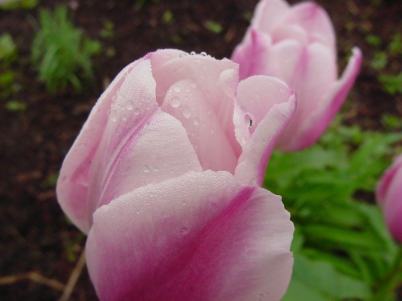 Tulips, Vermont