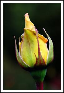 Rose (79523363)