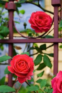 Rose Fence (98273378)