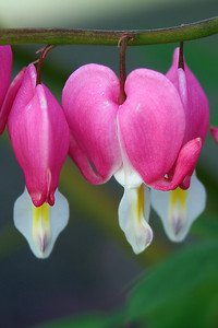 Bleeding Heart (77599742)