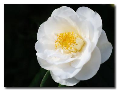 Camellia (76073836)