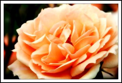 Rose (79523364)
