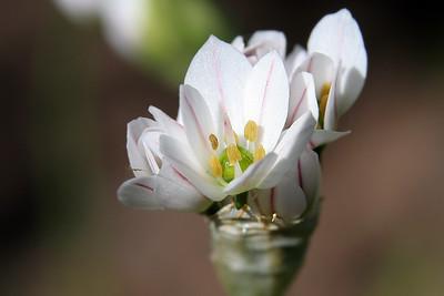 Allium (78031055)