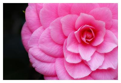 Camellia (76028146)