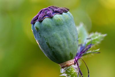 Poppy Seed Head (80248314)