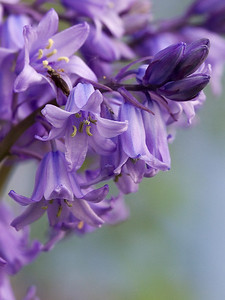 Hyacinth   | Canon EF 70-300mm f/4-5.6 IS USM